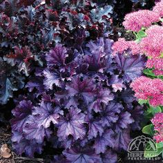 Heuchera 'Forever Purple' Fancy-leaf Coral Bells USDA Zone: 4-9 This Coral Bells is destined to become the new standard for purple leafed perennials.