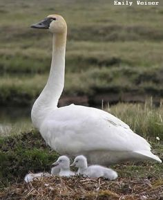 Image detail for -TUNDRA SWAN - a bird that nests in the Arctic