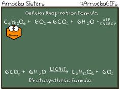 Our new GIF demonstrates how the photosynthesis and cellular respiration formulas are basically flipped!http://www.amoebasisters.com/amoebagifs.html