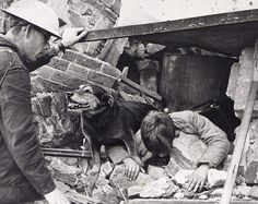 Rip was a stray who adopted an air raid warden unit after being bombed out of his London dockland home. They couldn't stop him becoming a search and rescue dog - it seemed he just did it for the enjoyment. In 12 months between 1940 and 1941, the scruffy looking mutt combined all the inherited skills of uncertain parentage to rescue more than 100 people from the air-raid ruins. Then he carried on the good work for another four years until the end of the war.