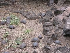 Galapagos Island of Santa Cruz - The Charles Darwin Research Station - the smallest hatchlings.