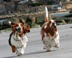 Curiosities: Basset Hounds Running