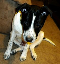 Jessica I. and her Pit-Border Collie Mix named Tosh. Tosh enjoys eating pig ears and watching Marley & Me.
