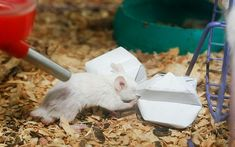 Turn a piece of paper into a foraging toy for your mice or rats! Fold a piece of computer paper in half and half again and cut out the four ...