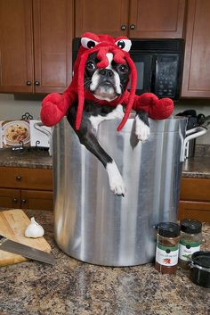 Boston Terrier as lobster