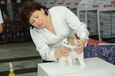 EXOTIC KITTEN,  Exotic shorthair,  Exotic cat,  cattery exotic shorthair Fayna Kisya