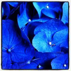 #hydrangea ruffles