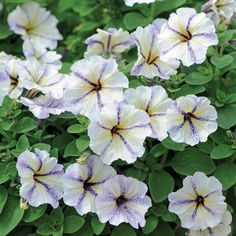 Petunia 'Cloud Nine' - Annual Plants - Thompson & Morgan