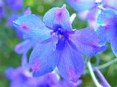 july birth flower for me Delphinium Flowers, Gladiolus Flower, Delphiniums, Exotic Flowers, Blue Flowers, Beautiful Flowers, Flower Colour, Blooming Flowers, Flower Art