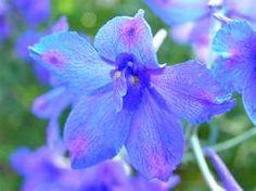 gladiola - august's birth flower