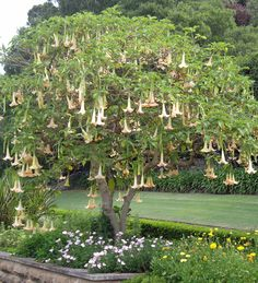 Angel's Trumpets (Brugmansia). Brugmansia are in the Solanaceae family, all parts are toxic. Native to subtropical regions, they have large, very dramatic, pendulous trumpet-shaped blooms that are only fragrant at night.