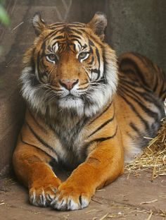 Beautiful tiger