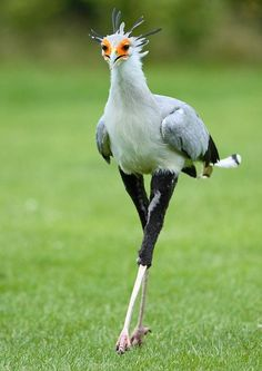 "Secretary Bird -   ""The Secretarybird or Secretary Bird is a large, mostly terrestrial bird of prey. Endemic to Africa, it is usually found in the open grasslands and savannah of the sub-Sahara."" (wikip)"