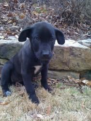 Dandelion is an adoptable Black Labrador Retriever Dog in Alpharetta, GA. This is one of 5 black lab pups (4 girls and 1 boy) saved an hour before being euthanized at a high kill shelter in south Atla...
