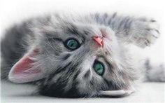CoolPetZ | Social Pet Network Kedilerde Görülen Gençlik Hastalığı Hakkında Bilmemiz Gerekenler... #kedi #CoolPetZ