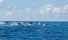 Azoren Sao Miguel ... Dolphins