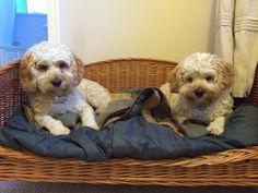 Wilma & Betty our cockapoo pups sooooo cute x