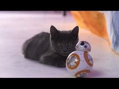 Three Kittens Test Out the New BB-8 Rolling Droid Toy From Star Wars: The Force Awakens #bb-8 #spherobb8 #bb8 #starwars #friki