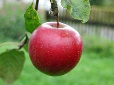 Minnesota State Fruit...the Honeycrisp Apple
