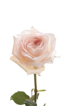 Blush Garden Rose - White O'hara - Garden Roses - Roses | Flower Muse