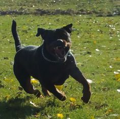 Storm - Love Rottweilers