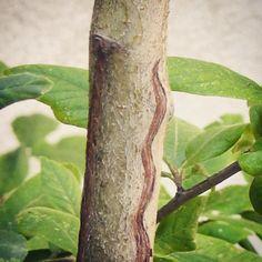 #Incision du #néflier sur pied pour permettre à la sève de cicatriser et de garder les dessins en mémoire Plant Leaves, Plants, Shrub, Drawings, Woodwind Instrument, Plant, Planting, Planets