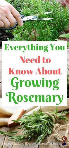 Everything You Need to Know About Growing Rosemary Alles, was Sie über Rosmarin in Ihrem Garten wiss Indoor Vegetable Gardening, Organic Gardening Tips, Hydroponic Gardening, Garden Plants, Container Gardening, Herb Plants, Gardening Zones, Veggie Gardens, Kitchen Gardening