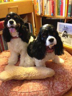 Giselle, Therapy Dog CH Topaz Kisses In the Rain, THDN, CGC