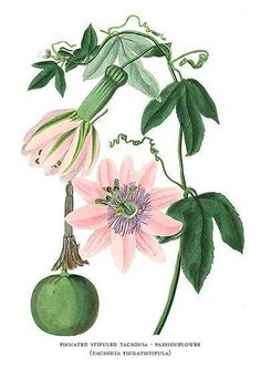 Botanical Print by Paxton of Passion Flower and Fruit #passiflora