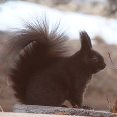 Abert's Squirrel