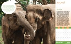 Download your FREE TeachKind desktop calendar for August, and check out Sunder the elephant\'s touching story. ♥ #TeachKind #HumaneEducation #Wallpapers #Calendar #AnimalRights
