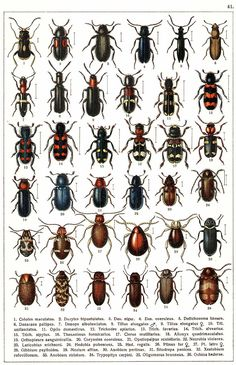 """G.G. Yakobson (1905-1915) - """"Beetles of Russia"""": table 41"""