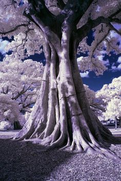 Stately Tree in infrared. #InfraredPhotography #Infrared #Photography
