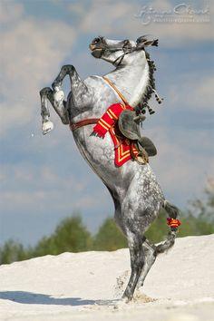 PRE stallion Escudero VII, ow. Blanka Satora, Poland