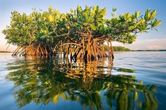 """Photo by // A red mangrove tree stands above the rising tide along the east side of Tampa Bay. To get this angle I was submerged with my hand…"" Garden Trees, Trees To Plant, National Geographic Travel, Tree Forest, Fine Art Gallery, Public Art, Tampa Bay, Nature Photography, Scenery"