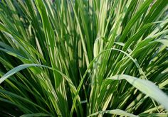 uantity: 10 / Pack Origin: India Sri Lanka Plant height: 40-70 cm Germination time: 10-15 days Maturation time: 75-80 days Fresh grass and hay