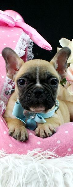 French Bulldog Puppy! Can somebody please convince my boyfriend to get me one of these!!!