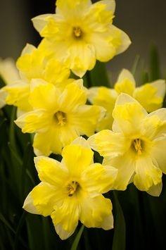 Daffodils. Narcissus is a genus of mainly hardy, mostly spring-flowering, bulbous perennials in the Amaryllis family, subfamily Amaryllidoideae. Various common names including daffodil, narcissus, and jonquil are used to describe all or some of the genus.