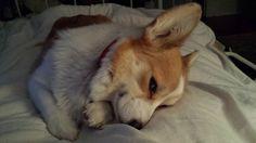 My sleepy corgi - such a cutie!