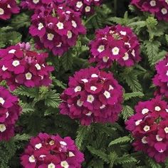 Plants are heat loving, drought tolerant. Verbena Plant, Garden Planner, Seeds For Sale, Annual Flowers, Seed Starting, Garden Inspiration, Garden Ideas, Container Plants, Flower Seeds