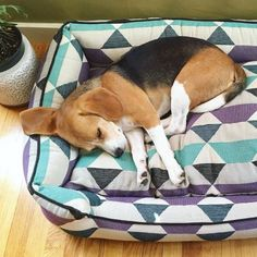 beagle news Everything you need to know about beagles