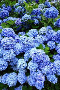 Watch Hill Weekend Landscape Yard And Garage Cool Hydrangea Wallpaper, Flower Wallpaper, Hydrangea Garden, Hydrangea Flower, Blue Flowers, Beautiful Flowers, Beautiful Places In Japan, Peonies And Hydrangeas, Blue Plants