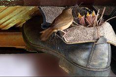 Foto corruíra (Troglodytes musculus) por Vera Méo | Wiki Aves - A Enciclopédia das Aves do Brasil
