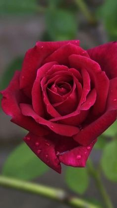 Rose Flower Pictures, Love Rose Flower, Beautiful Flowers Pictures, Beautiful Flowers Wallpapers, Beautiful Rose Flowers, Rose Photos, Pretty Roses, Flowers Nature, Exotic Flowers