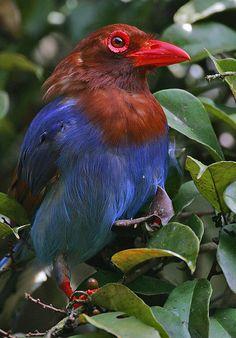 Ceylon-Blue Magpie