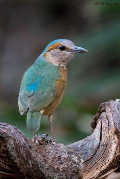 コシアオヤイロチョウ Blue-rumped pitta (Hydrornis soror, Pitta soror)