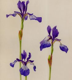Gael Sellwood - Iris sibrica