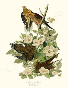 Mourning Dove Bird Print  11x14 Print