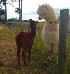 Alpaca and llama size difference Super Cute Animals, Cute Funny Animals, Cute Baby Animals, Animals And Pets, Alpacas, Lama Animal, Cute Alpaca, Cute Animal Pictures, Alpaca Pictures