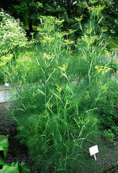 "Read this before planting Fennel: ""Should not be planted near most other plants. Fennel can kill most other plants. Growing Fennel, Growing Herbs, Healing Herbs, Medicinal Plants, Back Gardens, Outdoor Gardens, Vegetable Garden, Garden Plants, Vegetable Gardening"